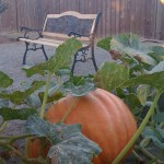 60lb pumpkin grown in compost