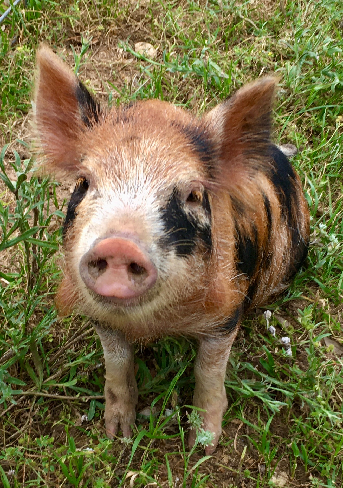 Pigs can help turn the compost pile