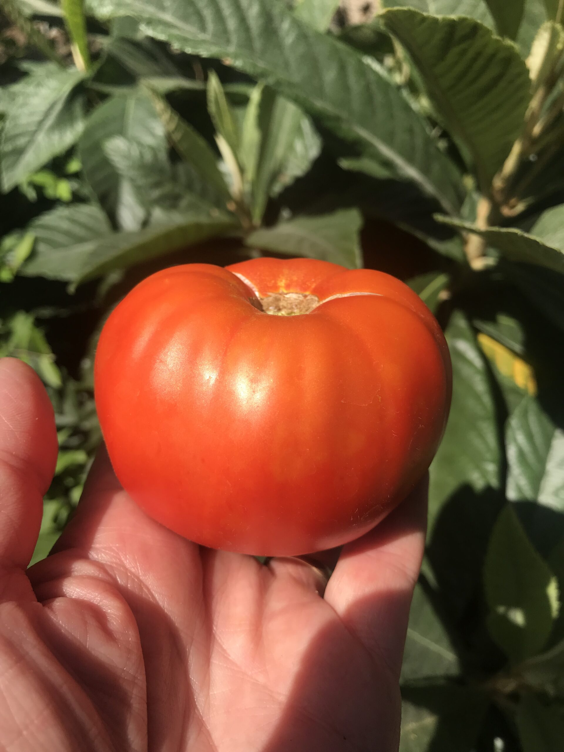 Red Tomato From Garden