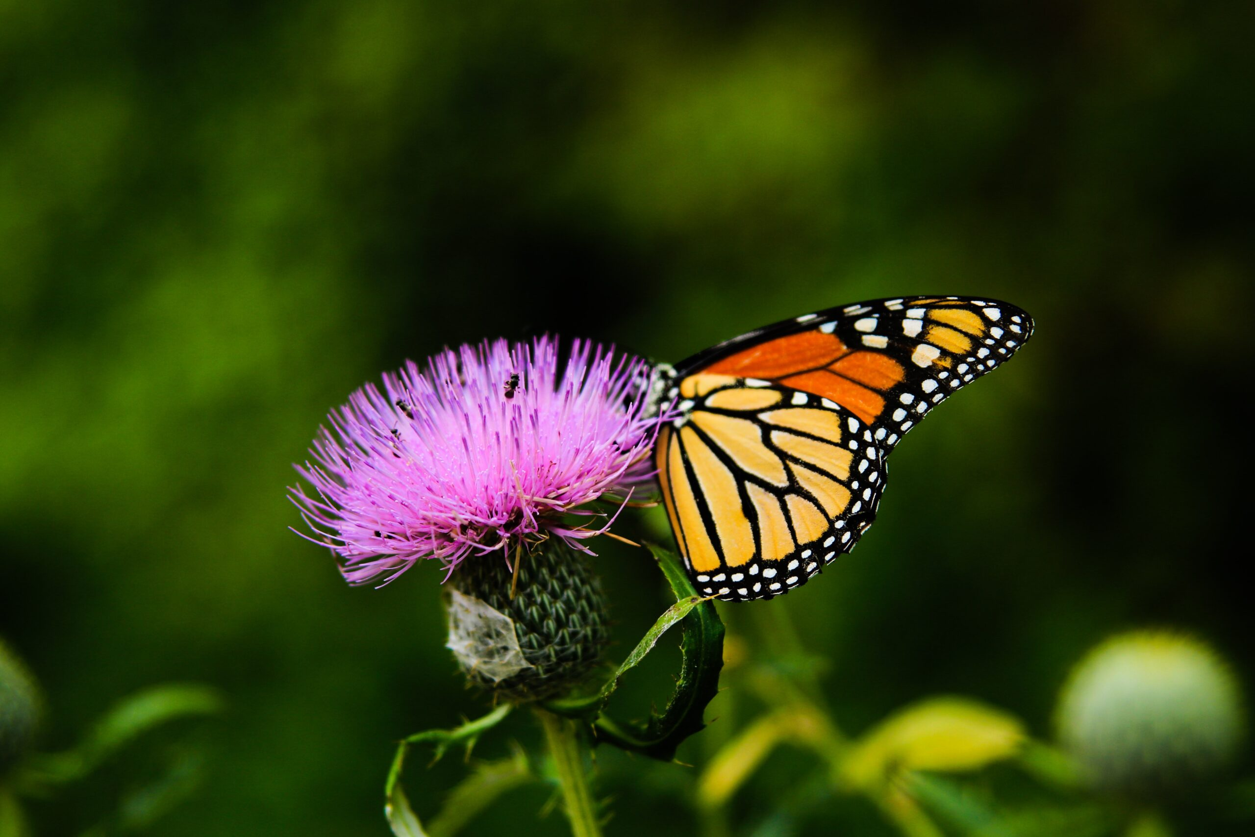 Milk Thistle Flower With Butterfly By Sean Stratton Ff85l4v0wom Unsplash