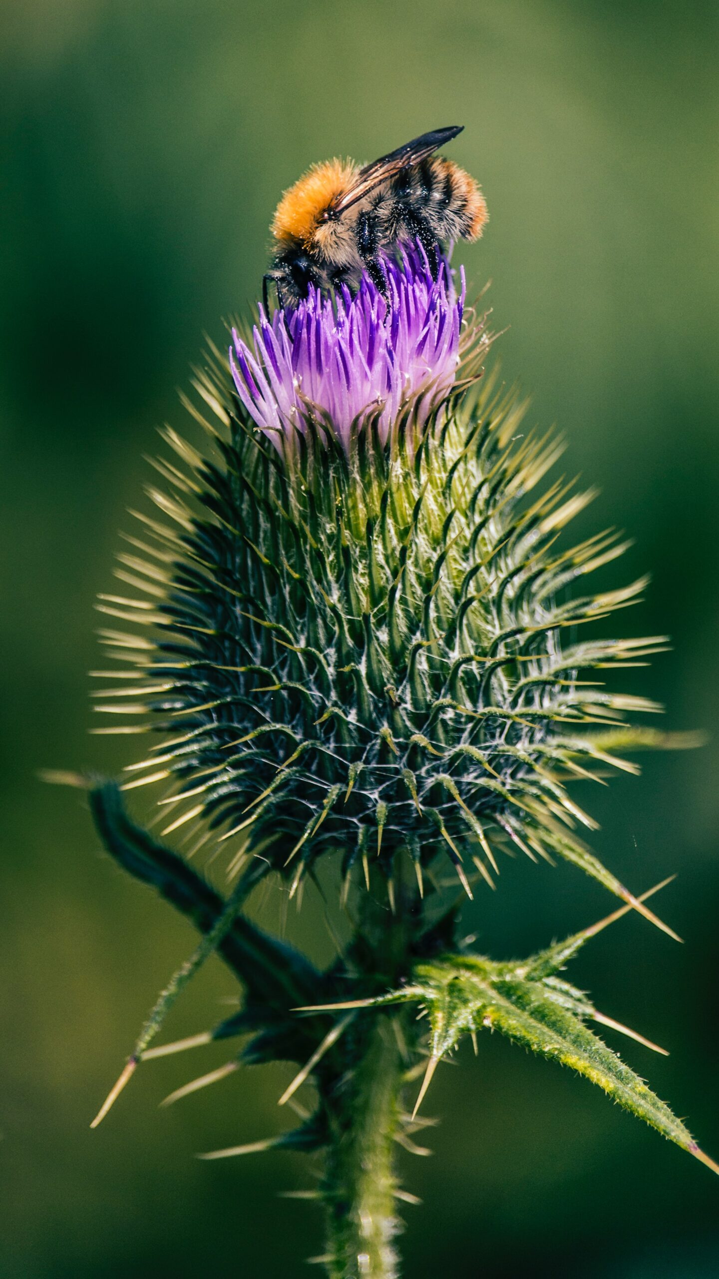 Milk Thistle Single Flower About To Bloom With Bee By Hoch3media Qlv 65cumqs Unsplash